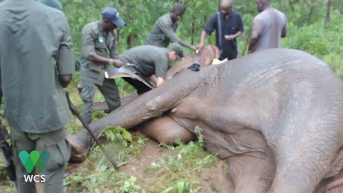 Elephant Collaring in Yankari Game Reserve | WCS Nigeria