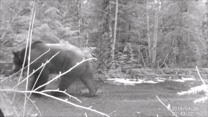 Grizzly bear on trail cam near Squamish, British Columbia