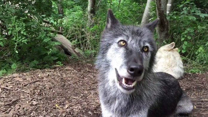Happy Wolves, Happy Howls
