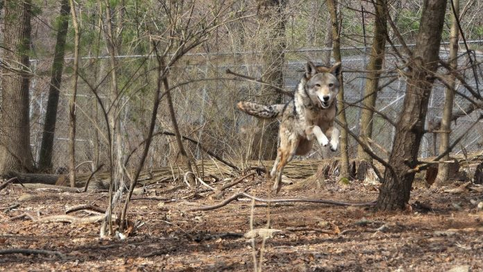 Red Wolf Charges and Soars