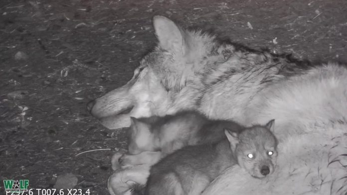 Wolf Pups Cuddle and Nibble Big Sister