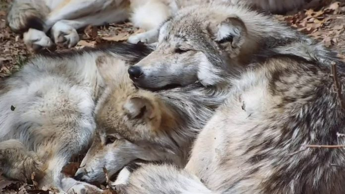 Wolves Cuddle and Comfort One Another