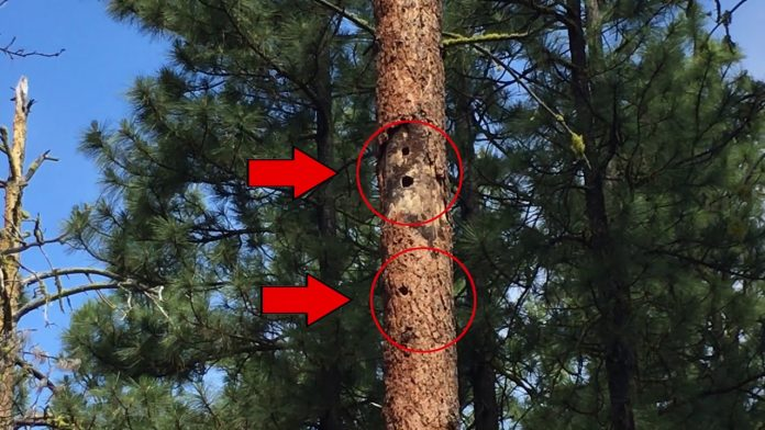 Woodcutters: check snag trees for cavities