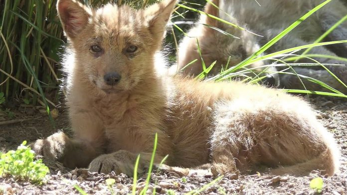 Eastern Coyote Pup: Collected, Cute, and Chill