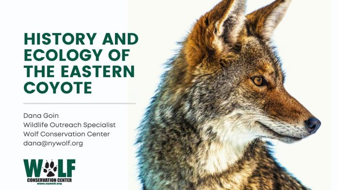 History and Ecology of the Eastern Coyote