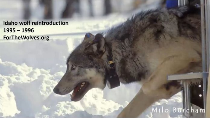 Non-Lethal Wolf and Livestock Coexistence with Suzanne Asha Stone