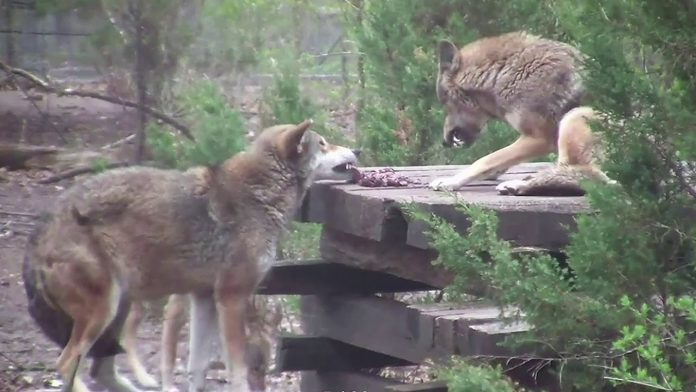 Red Wolf Demonstrates How Not to Behave on a Dinner Date