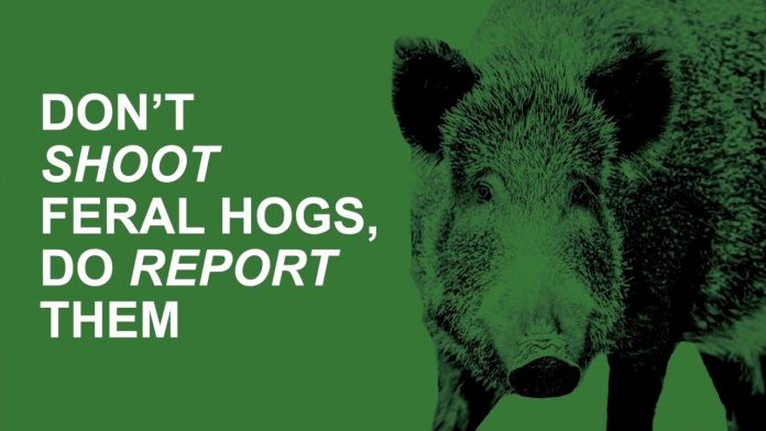 Report Feral Hogs, Don't Shoot Them (0:60)