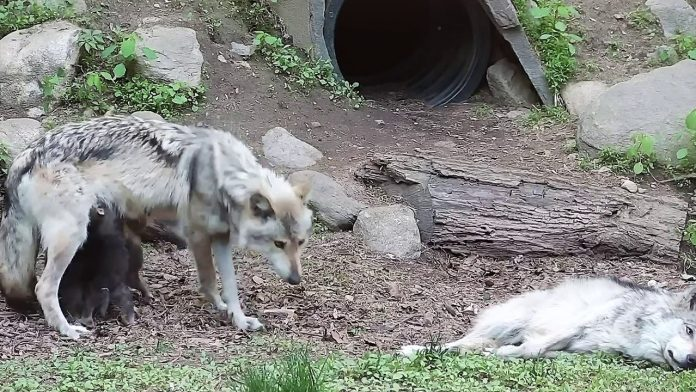 When Mom Drops Off Wolf Pups with the Babysitter