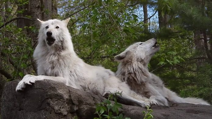 Wolves Wake Up and Howl