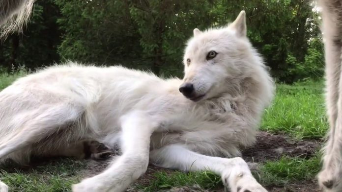 Adorable Wolf Whines and Paws at Brother to Play