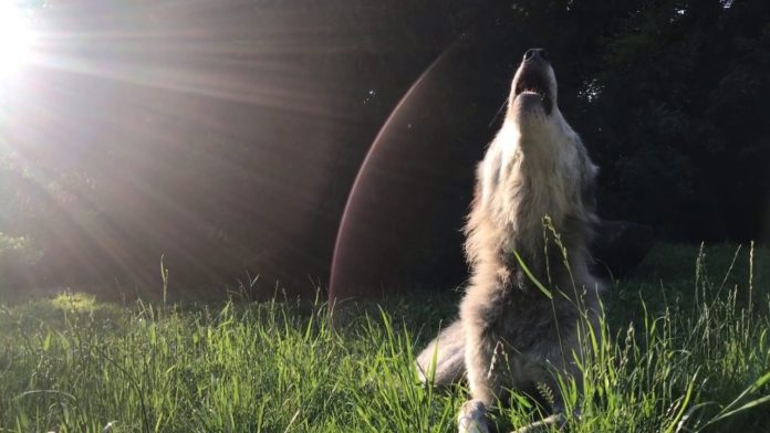 Wolf Howling at Twilight Is Pure Magic