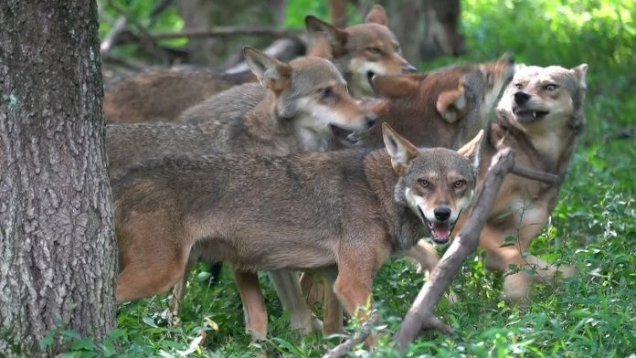 Rare Red Wolves Feeling Frisky and Feisty