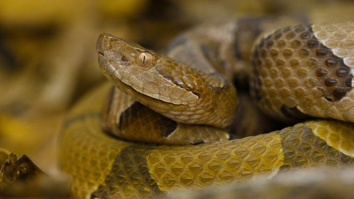 La serpiente cabeza de cobre (Copperhead)
