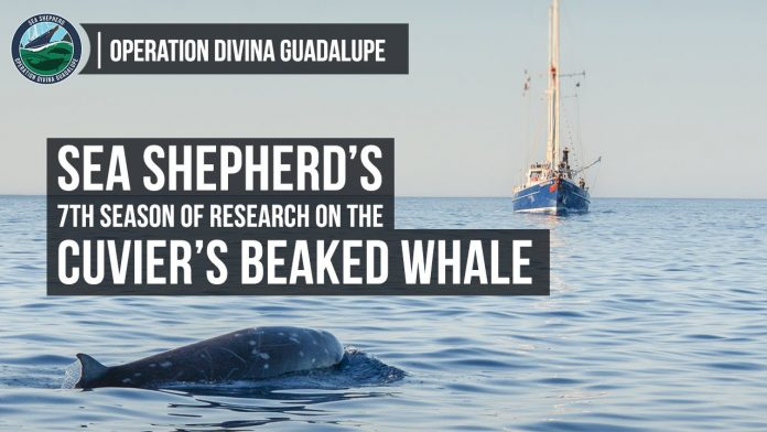 Sea Shepherd Launches Operation Divina Guadalupe