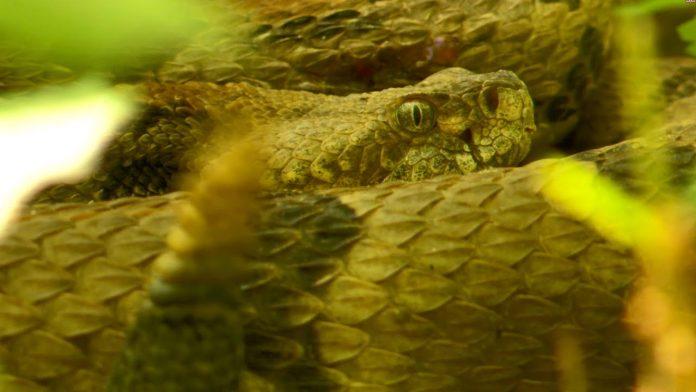 """Timber Rattlesnake Mating Ritual - """"Combat Dance"""""""