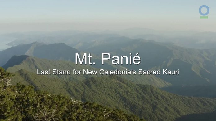 Trailer: Mt. Panié - Last Stand for New Caledonia's Sacred Kauri