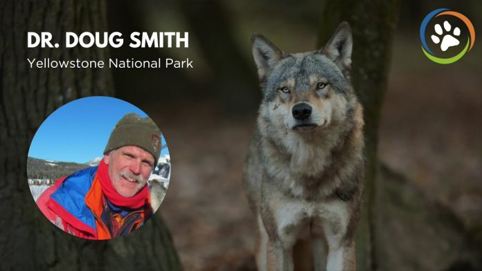 WCN Virtual Fall Expo 2020: Yellowstone National Park (Grey Wolves)