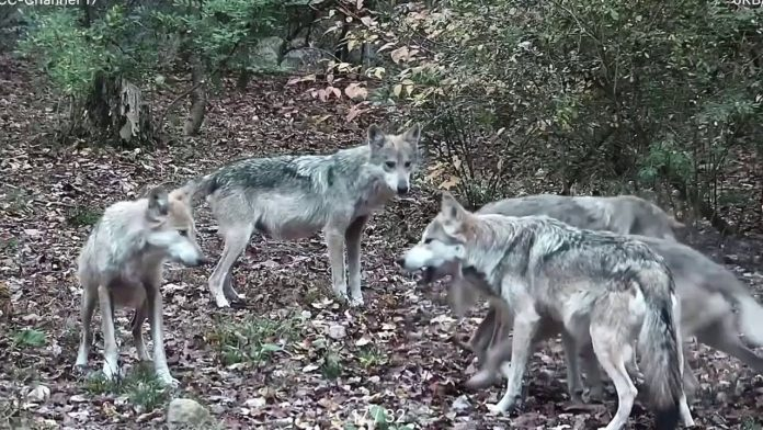 "Wolf Parents' Quality Time Gets Hijacked by the ""Kids"""