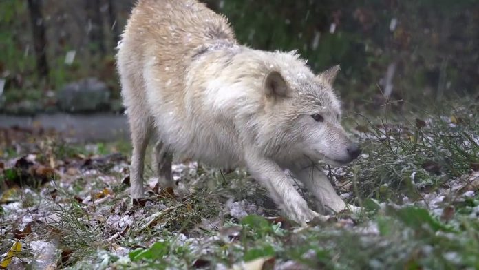 For Wolves, Happiness is the Season's First Snow