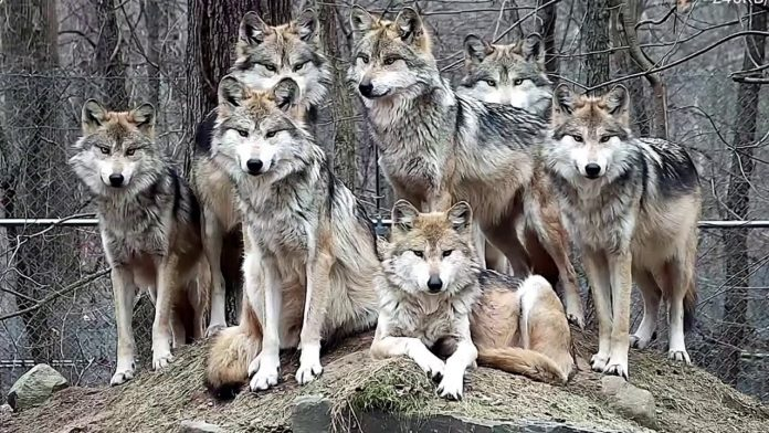 Stunning Mexican Gray Wolf Family Portrait