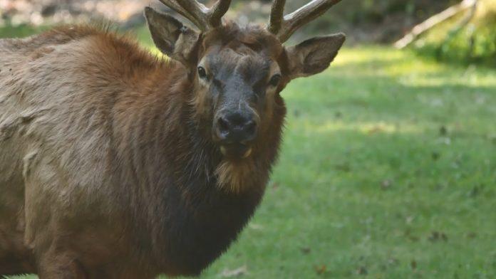 Conservation Profile: Elk Hunt