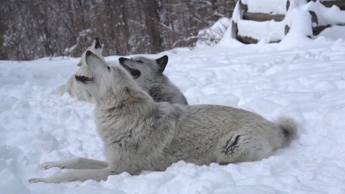 Magical Moment: Three Wolves Howling in the Snow