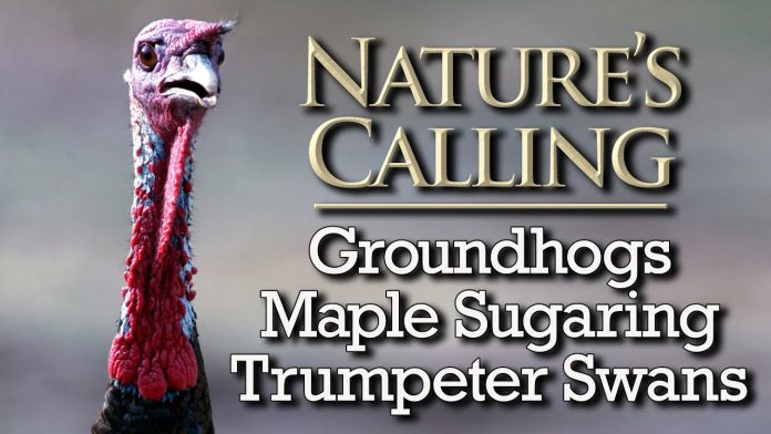 Nature's Calling - Groundhogs, Maple Sugaring, Swans (Feb 2021)