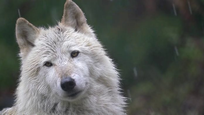 Your Moment of Calm with a Wolf