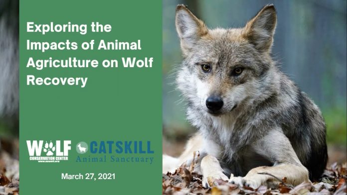 Exploring the Impacts of Animal Agriculture on Wolf Recovery