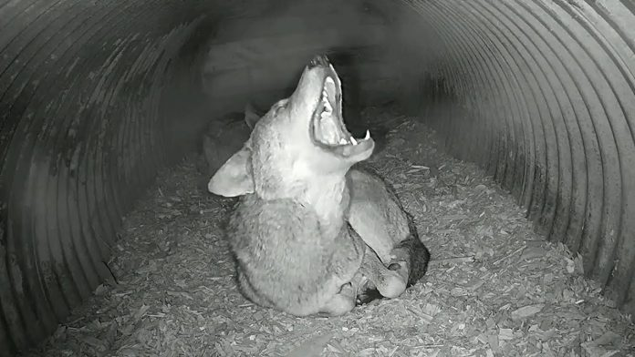 Rare Red Wolf Howls, Yips, Yodels in His Den