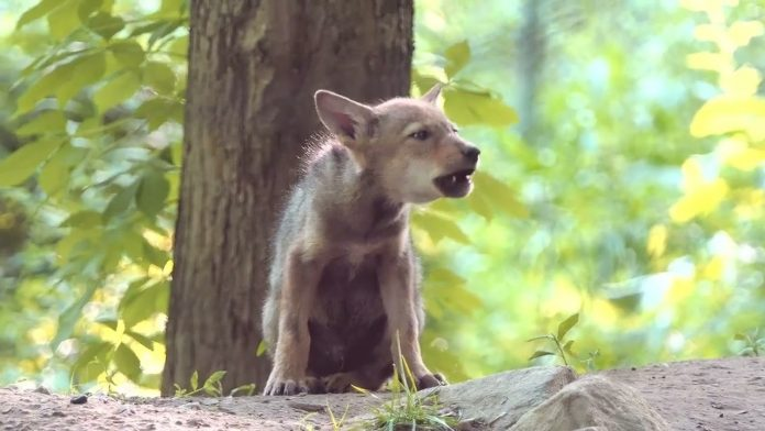 Adorable Wolf Pup Squeaks Out a Howl