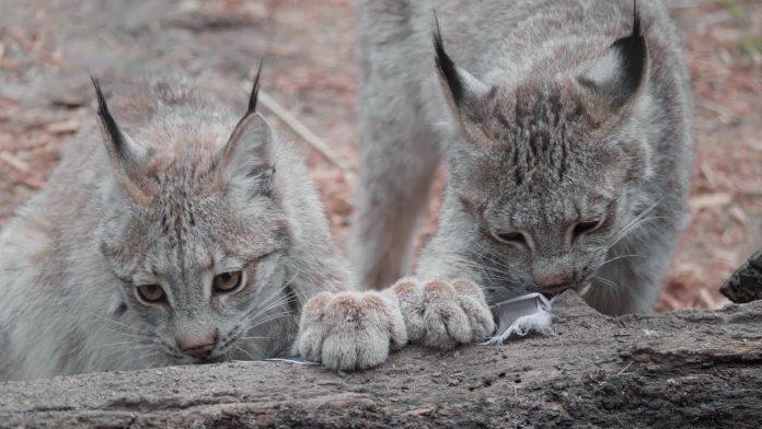 Canadian Lynx Enrichment   Queens Zoo
