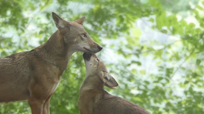 Red Wolf Pups Share Howls and Kisses With Mom