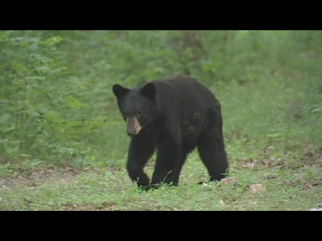 Black Bear Hunting Season in Missouri (2021)