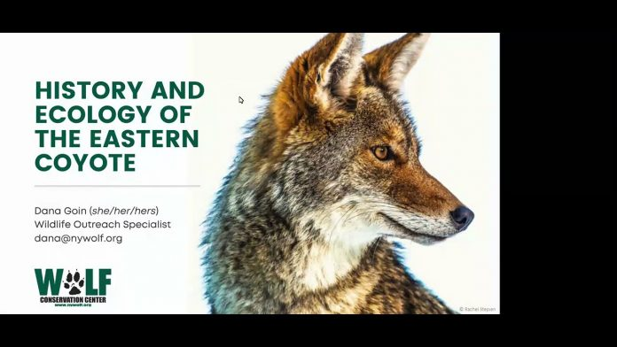 Eastern Coyotes: History, Ecology, and How to Coexist - A Webinar with WCC's Dana Goin