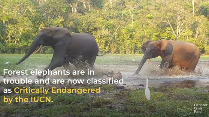 Create a Safer World for Forest Elephants | World Elephant Day