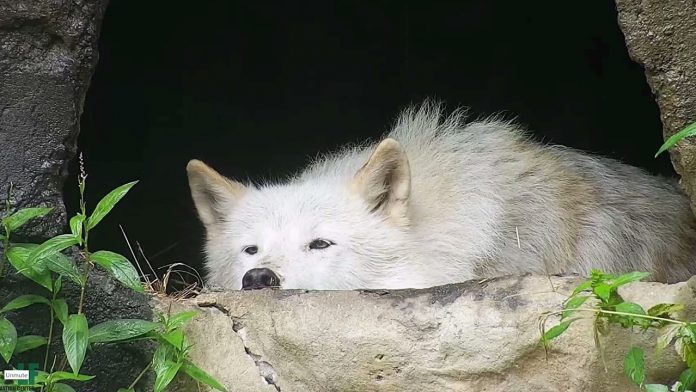 Rainy Day Makes Wolf a Moody Cutie
