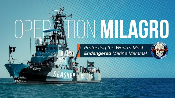 Protecting the World's Most Endangered Marine Mammal