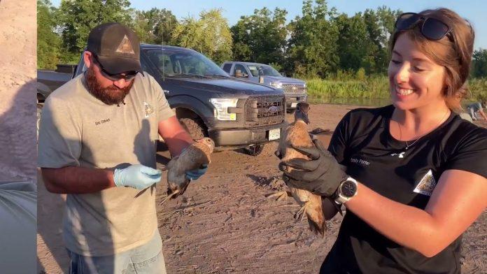 Wood Duck Banding